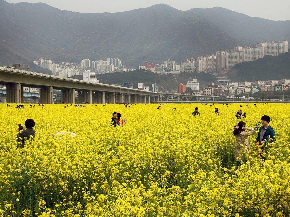 flores amarillas corea