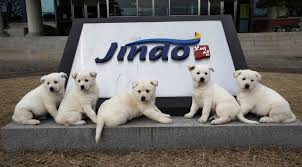 perro jindo olimpiadas